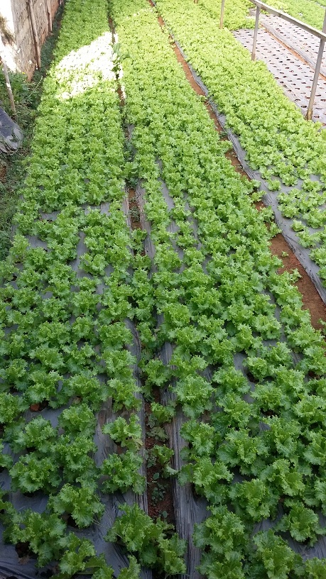 cây rau được trồng vào đất